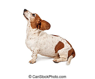 Basset Hound Dog with ears flying back