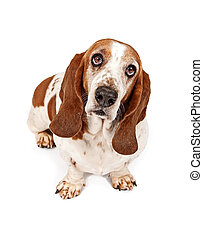 Basset Hound Dog With Sad Look. Isolated on White.
