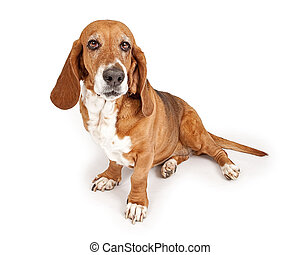 Basset Hound Dog - Basset Hound dog isolated on white