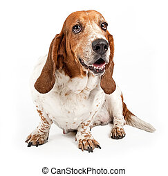 Basset Hound Dog Isolated on White - Basset Hound dog with...