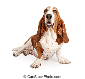 Female basset Hound Dog Isolated on White - Female Basset...