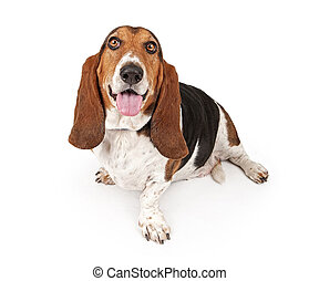 Basset Hound Dog Isolated on White - Basset Hound dog...