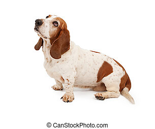 Basset Hound Dog Looking Up - Basset Hound Looking up and...