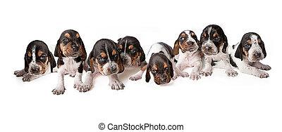 Litter of 3 week old Basset Hound puppies