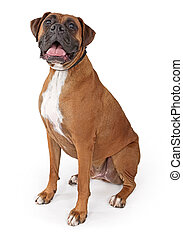 Boxer Dog With Happy Face - Large male boxer dog with happy...