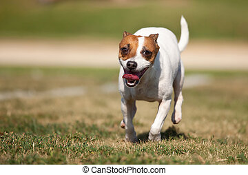 Energetic Jack Russell Terrier Dog Runs on the Grass