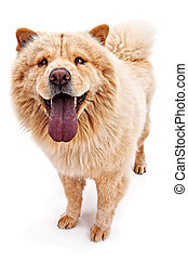 Chow dog with tan coat - Tan Chow dog with tongue hanging...