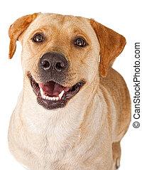 特寫鏡頭, 愉快, 黃色, labrador, 取回的人, 狗