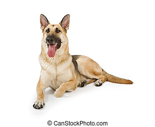 Dog Isolated on White - German Shepherd dog sitting down and...