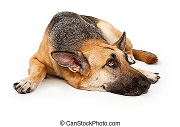 German Shephard Dog Laying Down and Looking Up - German...