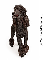 Happy Black Standard Poodle Dog - Black standard poodle with...