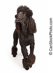 Happy Black Standard Poodle Dog - Black standard poodle with...