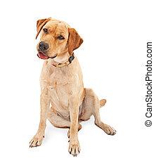 Yellow Labrador Retriever Dog Isolated on White