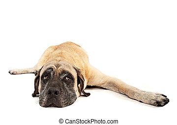 Mastiff Dog Laying Down Isolated on White - Large Mastiff...