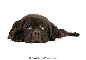 Newfoundland Dog Laying down and Isolated on White