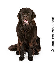 Black Newfoundland Dog Isolated on White - Large black...