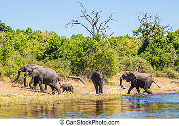 The elephants crossing river in shallow water - Watering in...