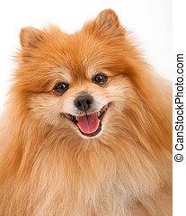 Pomeranian Dog Closeup - Closeup of a Pomeranian dog