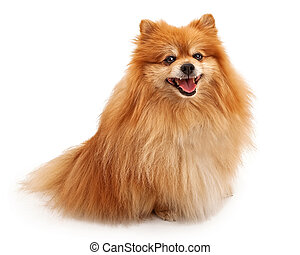 Pomeranian Dog With Happy Face - A Dogs Life Photography