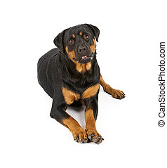 Rottweiler Dog Laying Down - Rottweiler dog laying down and...