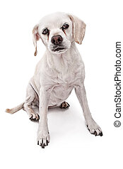 Whit Mutt Dog Isolated on White - A Dogs Life Photography