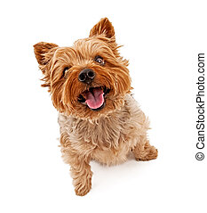Yorkshire Terrier Dog Isolated on White - Yorkshire Terrier...