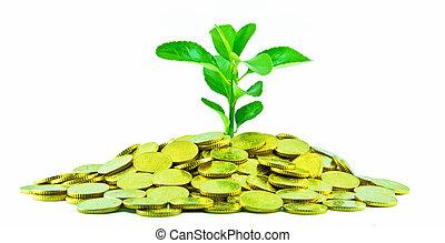 Money Plant - Money plant