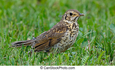 Juvenile Song Thrush (Turdus philomelos) closeup in grass,...
