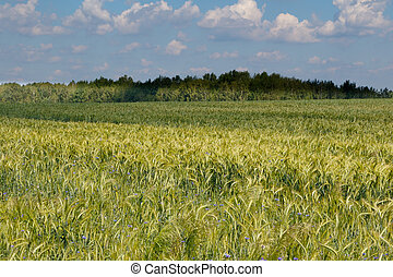 Rye(Secale cereale) field with Cornflowers in...