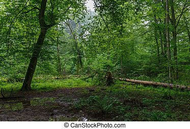 Natural deciduous stand of Bialowieza Forest - Natural...