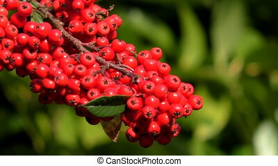 Red berries green blurred background - Cluster of bright red...