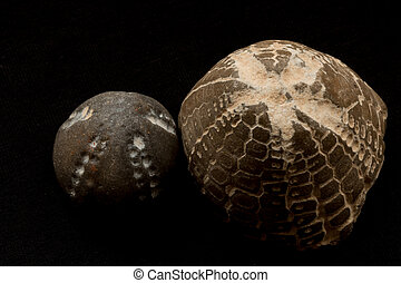 fossils of sea urchins macro - fossils of sea urchins...