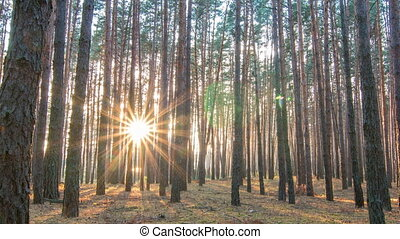 Pine forest with the last of the sun shining through the...