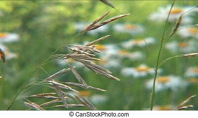 Chamomile, field, meadow