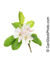 Apple blossom and leaves isolated on white