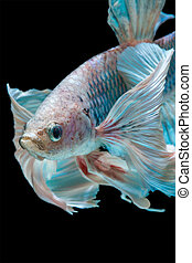 betta fish - close up betta fish, siamese fighting fish...
