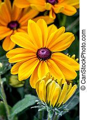 Black-Eyed SusanYellow flower