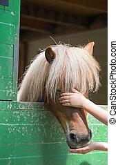 Shetland pony - Child stroking a shetland pony (Equus...