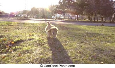 little funny corgi fluffy puppy walking outdoors