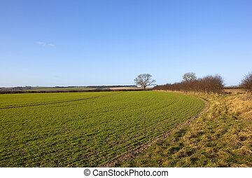 yorkshire wolds wheat - a curving wheat field in an english...