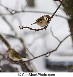 The bird a sparrow sits on mountain ash branch against the...