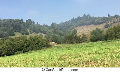 Cows grazing on the moutain meadow. Overall plan.