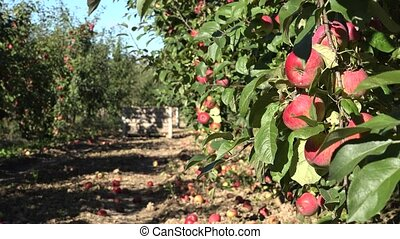 Twig full of red fruits and red apples under orchard tree in...