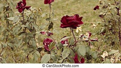 Drying roses in autumn rosegarden