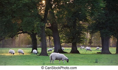 Flock of sheep or lambs grazing on grass in English...