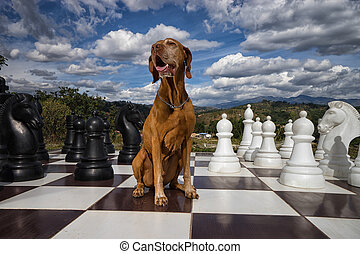 vizsla on chess board - golden colour vizsla sitting on...
