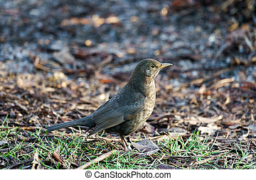 Female Blackbird (Turdus merula) on the Ground