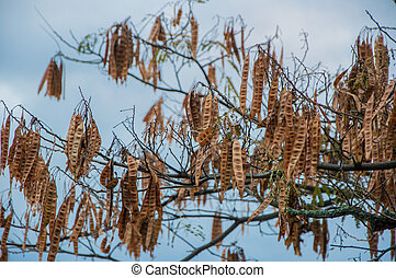 Acacia pods with seeds in high quality
