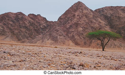 Desert in Egypt, Green Trees, Sand and Mountains. Rocks and...