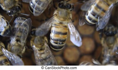 Honey bees on the home apiary. The technology breeding of...